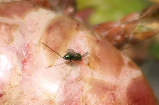 200425 parasitic wasp