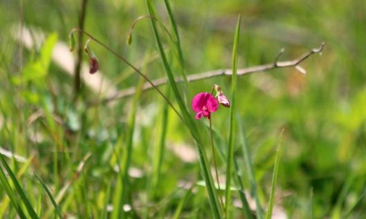 200426 Grass vetchling