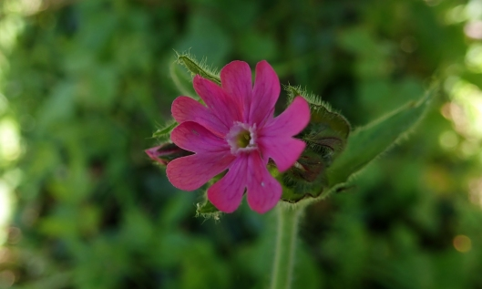 200426 Red campion