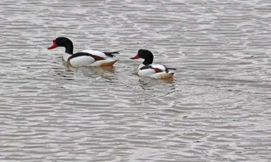200427 1 shelducks