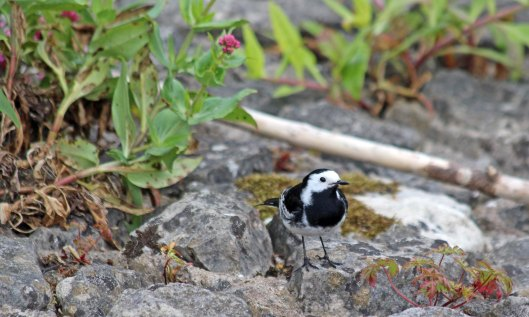 200427 6 pied wagtail