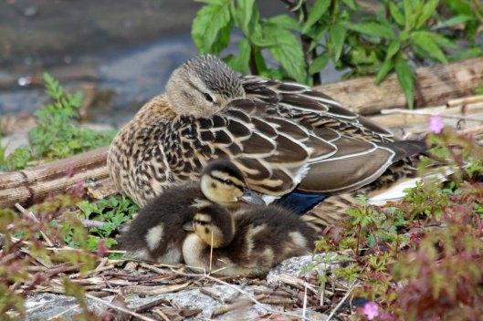 200430 mallard ducklings