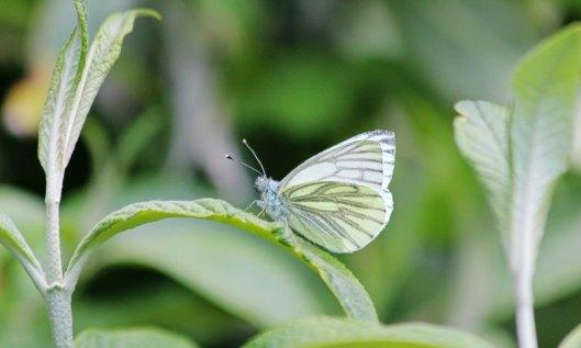 200501 Green-veined white (1)
