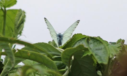 200501 Green-veined white (2)