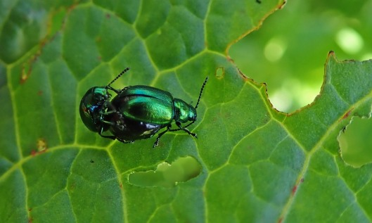 200502 green dock beetle (1)