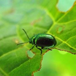 200502 green dock beetle (3)