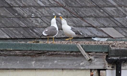 200504 lesser black-backed gulls (1)