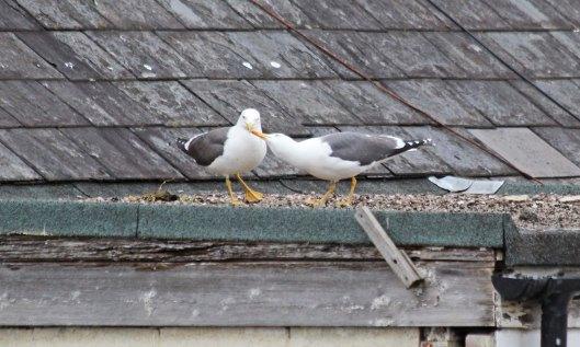 200504 lesser black-backed gulls (2)