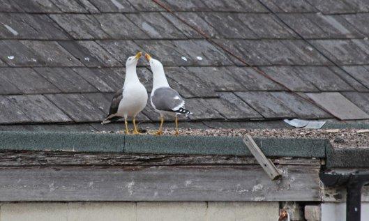 200504 lesser black-backed gulls (3)