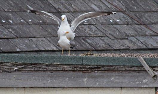 200504 lesser black-backed gulls (4)