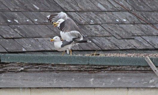 200504 lesser black-backed gulls (5)