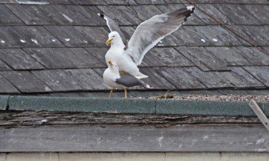 200504 lesser black-backed gulls (6)