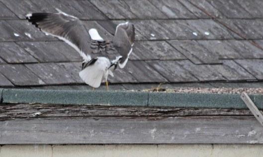 200504 lesser black-backed gulls (7)