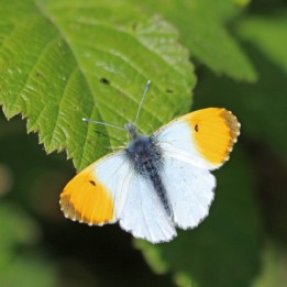 200505 orange-tip male (1)