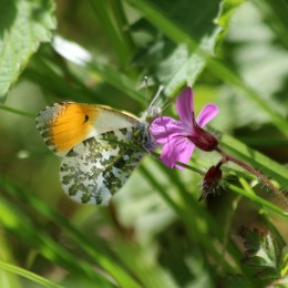 200505 orange-tip male (2)