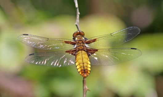 200506 Broad-bodied chaser (1)