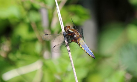 200506 Broad-bodied chaser (2)