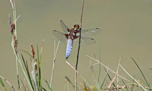 200506 Broad-bodied chaser (3)