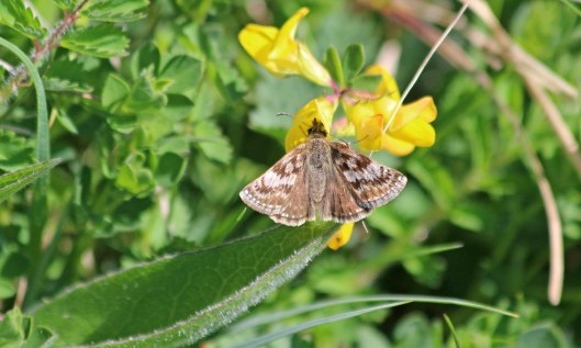 200507 dingy skipper (1)