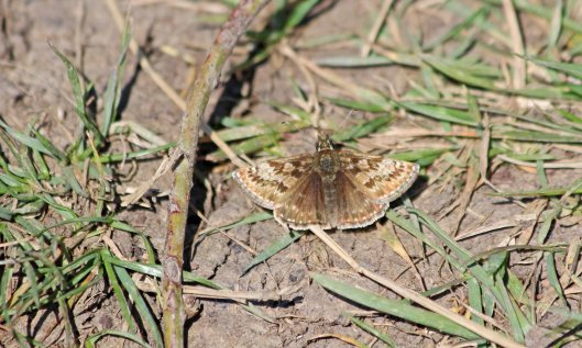 200507 dingy skipper (2)