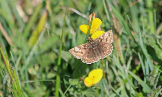 200507 dingy skipper (4)