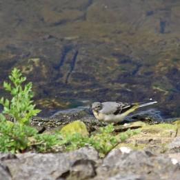 200508 grey wagtail (2)