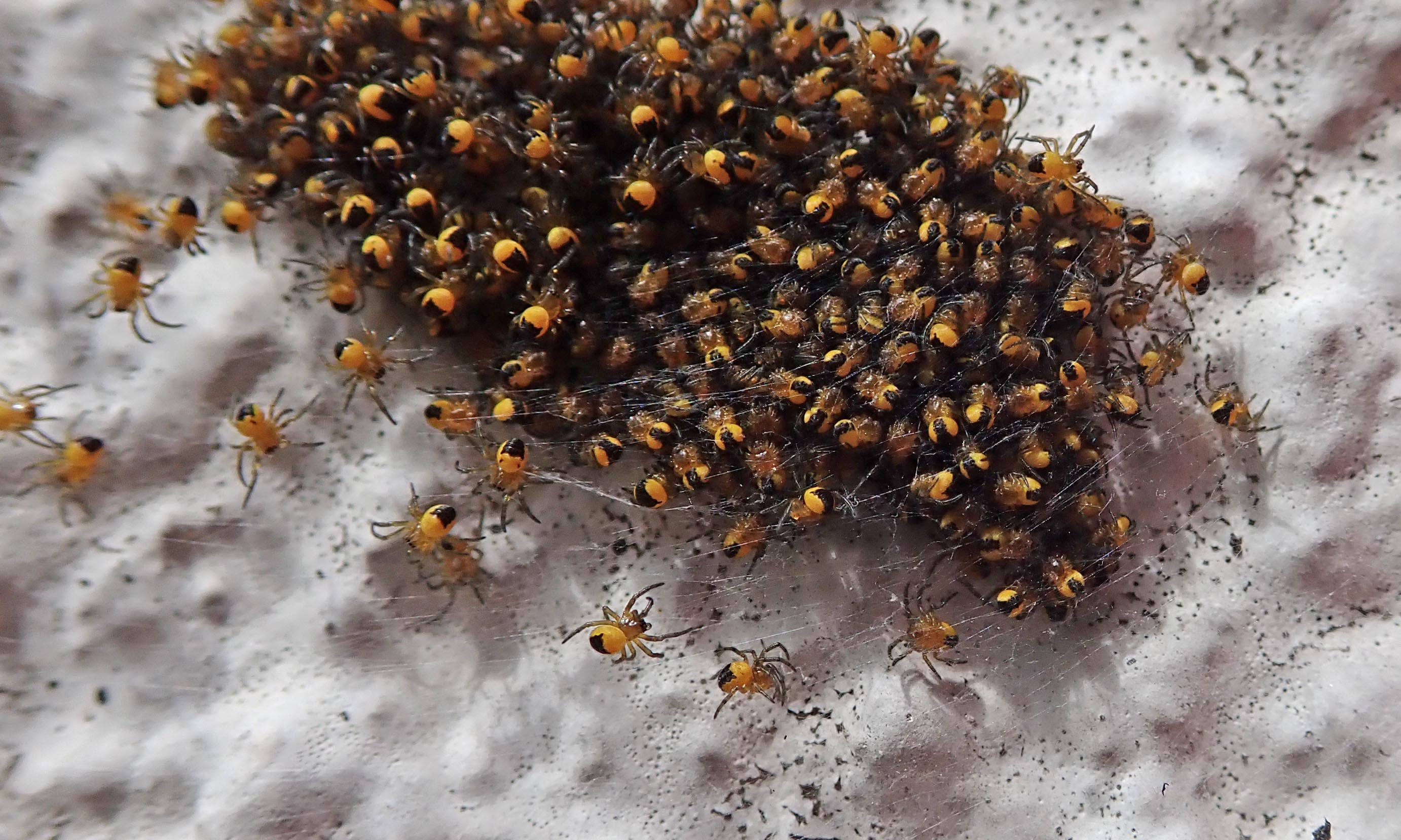 200509 garden spiderlings (2)
