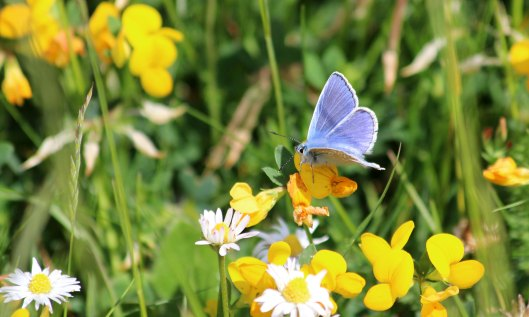 200512 Common blue butterfly (1)