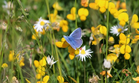 200512 Common blue butterfly (2)