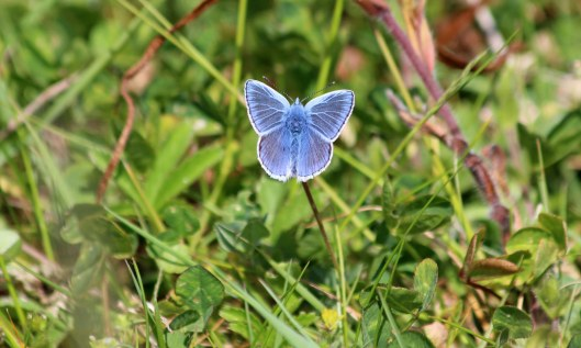 200512 Common blue butterfly (3)