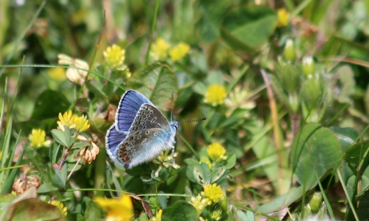 200512 Common blue butterfly (4)