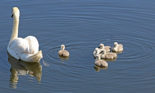 200513 swan and cygnets (2)