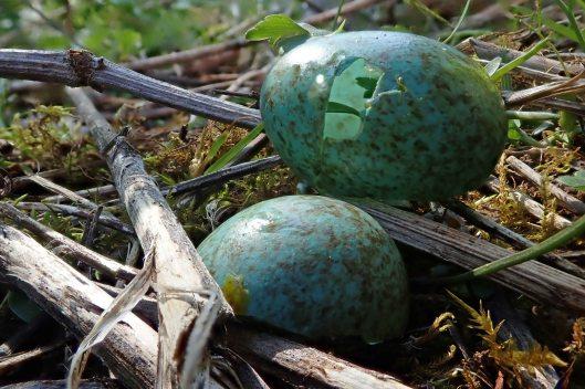 200515 blackbird egg