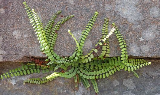 200517 Maidenhair spleenwort
