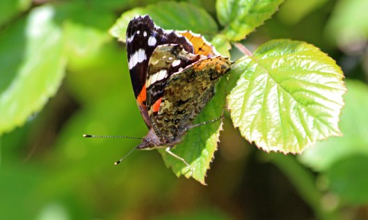 200519 red admiral
