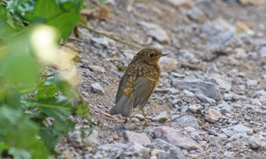 200523 juvenile robin (1)