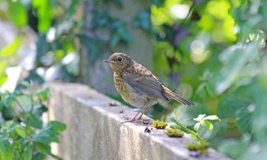 200523 juvenile robin (2)