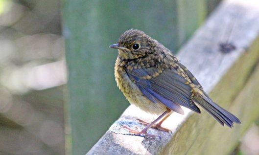 200523 juvenile robin (3)