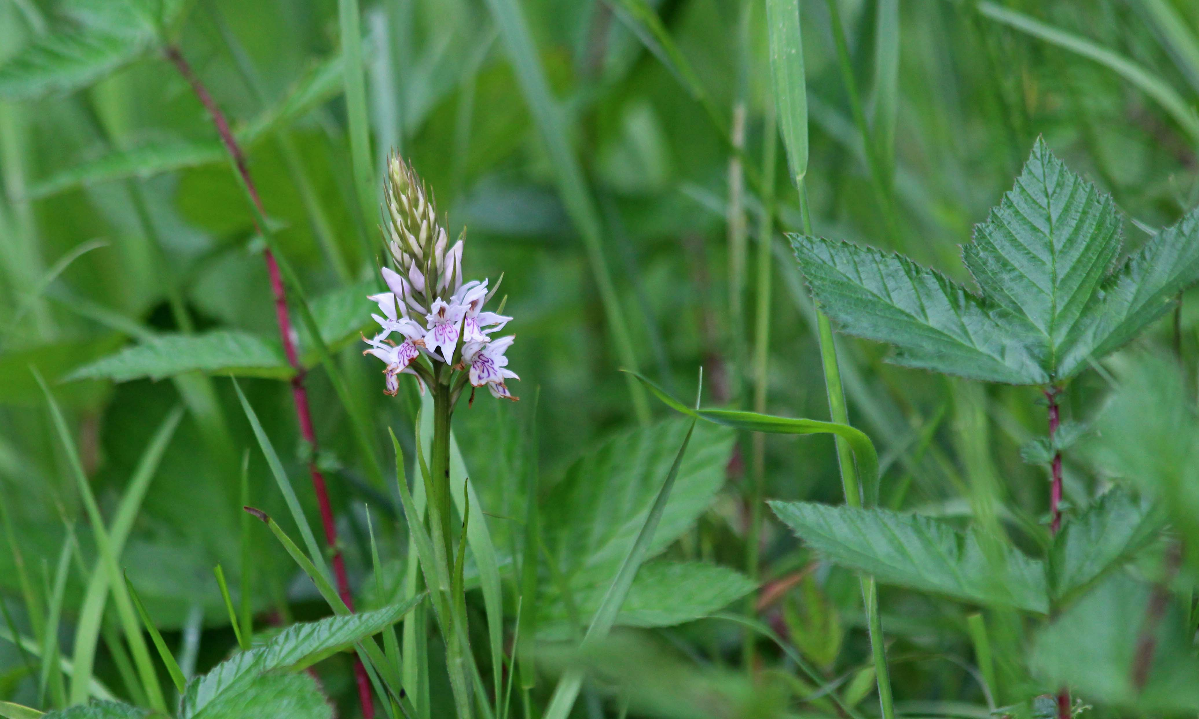 200524 common spotted orchid (2)