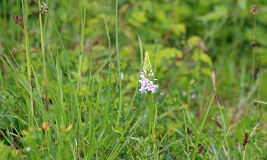 200524 common spotted orchid (3)