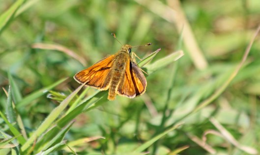 200526 large skipper (1)