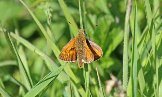 200526 large skipper (2)