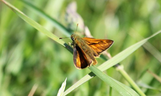 200526 large skipper (3)