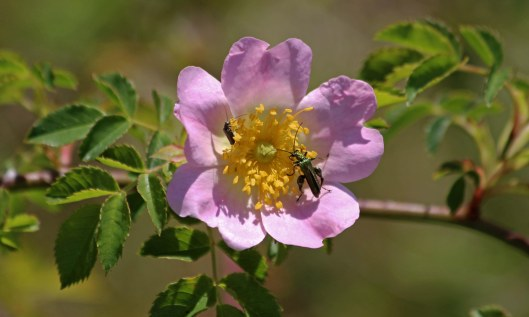 200527 wild rose and insects