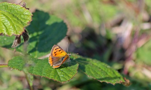 200528 small copper (1)