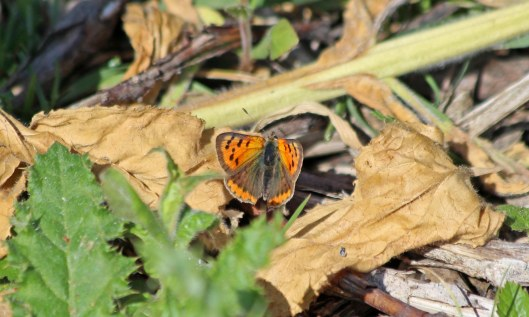 200528 small copper (2)