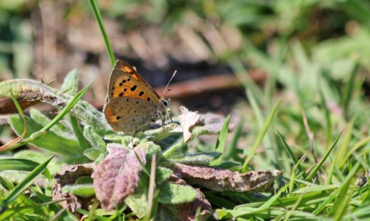 200528 small copper (3)