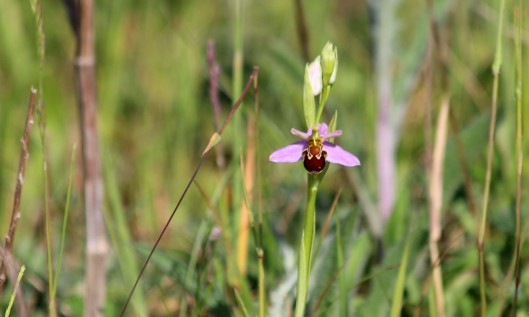 200531 bee orchid (2)