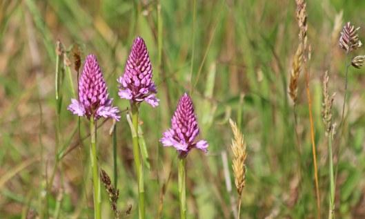 200531 pyramidal orchid (1)