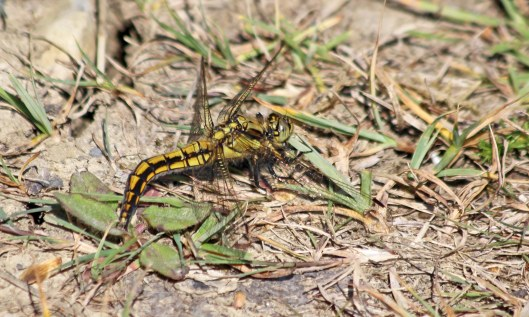 200601 black-tailed skimmer (2)